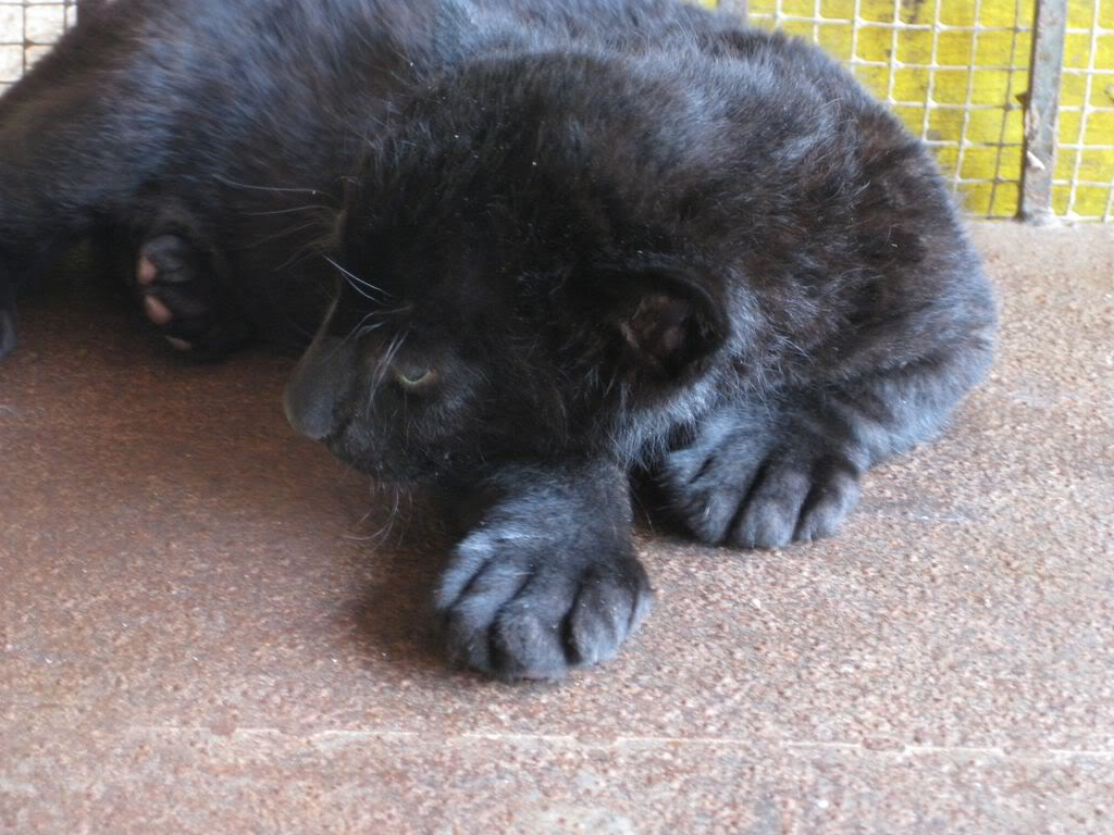 SIBERIAN,CHEETAH AND BLACK PANTHER CUBS FOR SALE($