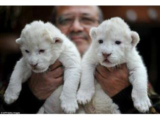 Cheetah cubs, lion cubs and tiger cubs now availab