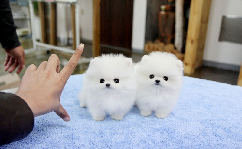 Tiny Teacup Pomeranian Puppies.