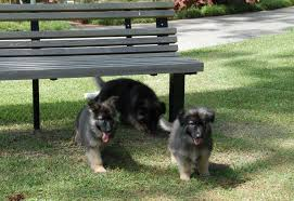 German Shepherd puppies ready
