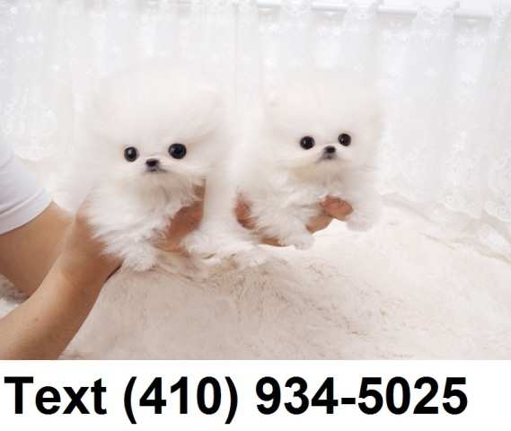 Cute tiny pomeranian puppies for sale.