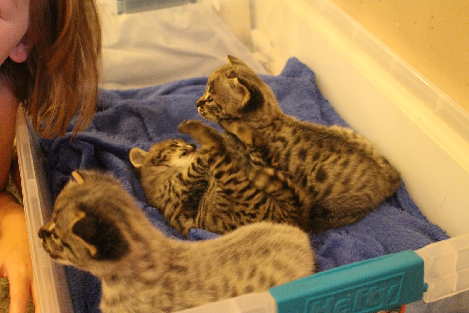 Savannah kittens tica registered f1 and f2