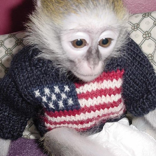 healthy Marmoset/Capuchin monkeys